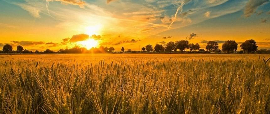 Champs de blé au soleil couchant